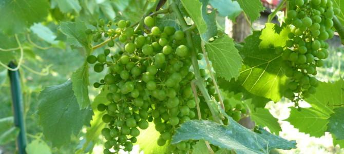 Vinařské stezky
